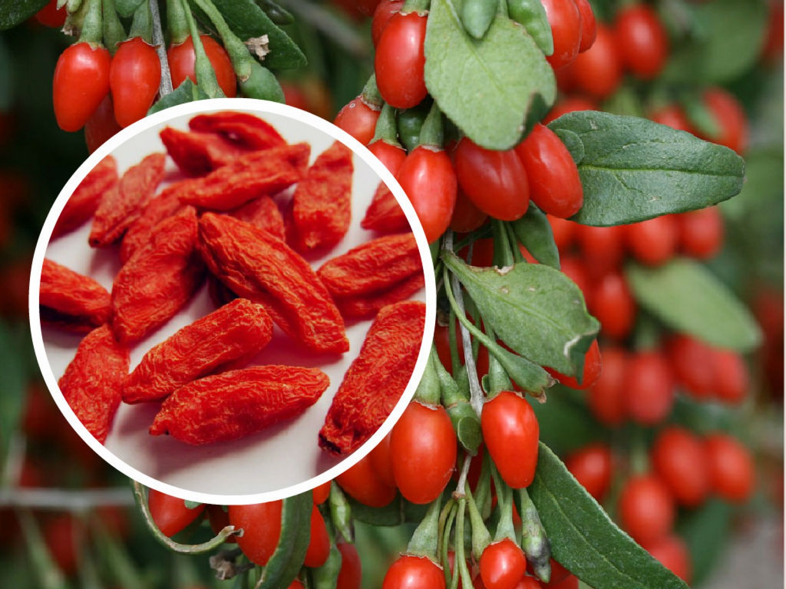 BENEFICIOS DO GOJI BERRY